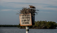 Osprey nest on the speed limit sign.