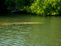 These are really big manatees, about 10-12' long.