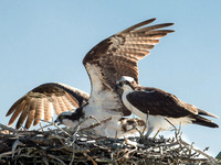 Ospreys in the nest right off our room.